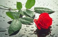 Rosa roja-200x129
